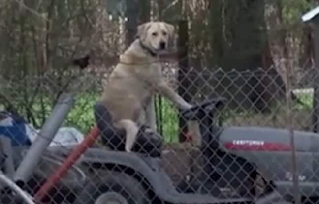 chien sur tondeuse