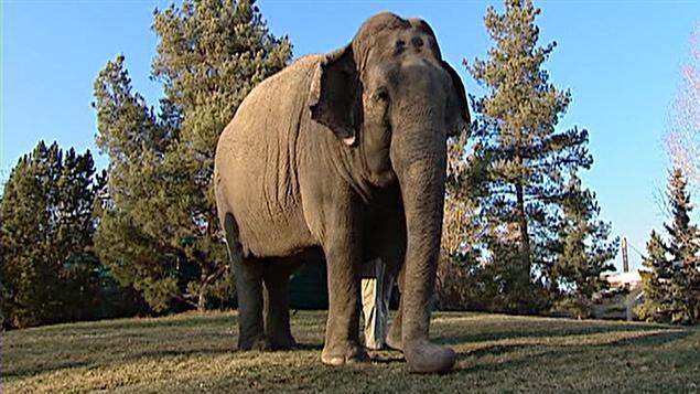 L'éléphante Lucy au zoo d'Edmonton