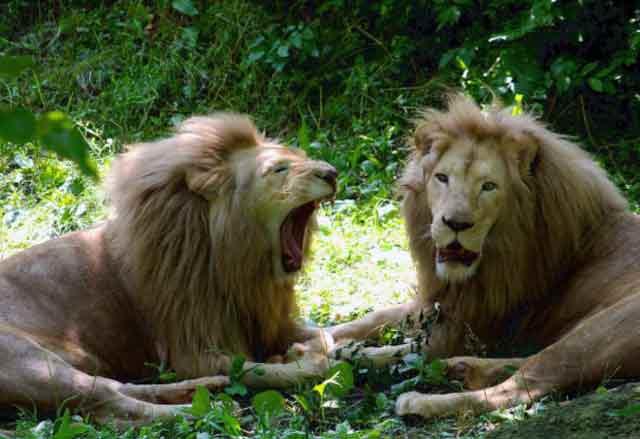 lions-zoo