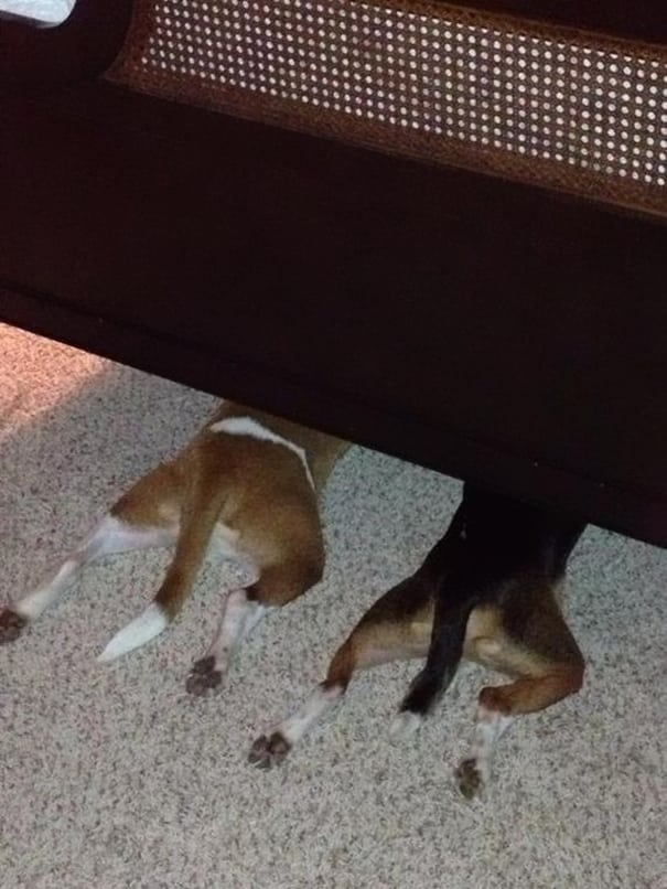 chiens cache 12