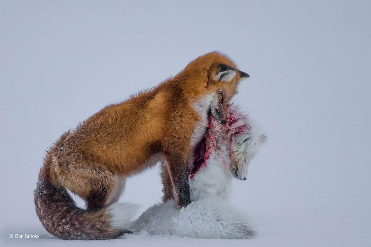 Conte de deux renards