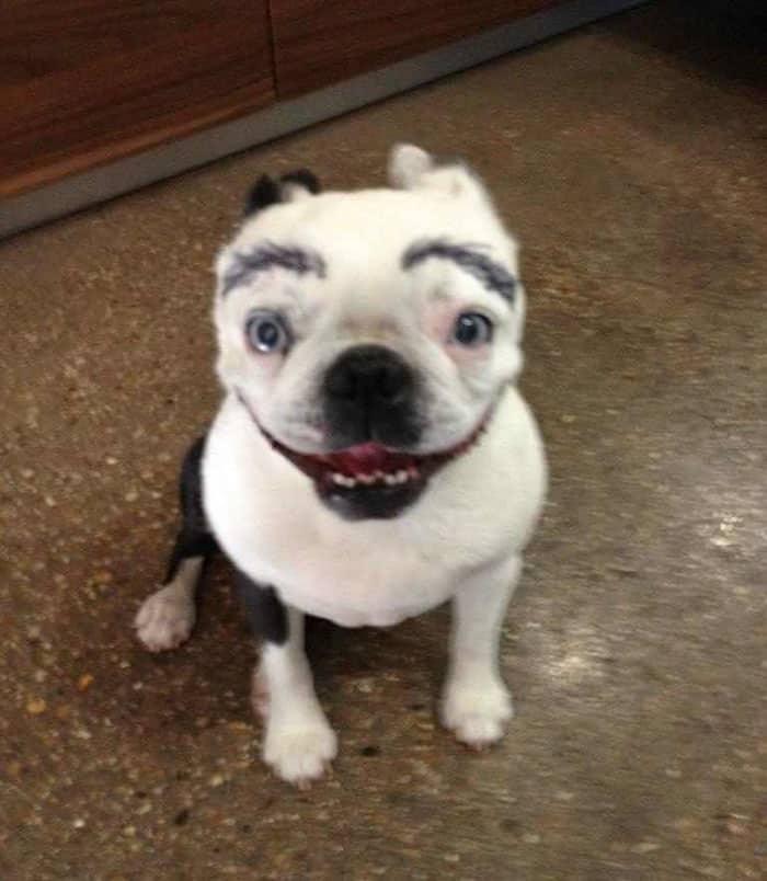 chien-avec-des-sourcils-15