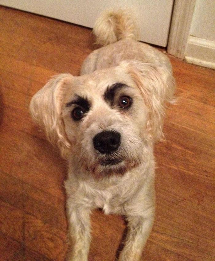 chien-avec-des-sourcils-3