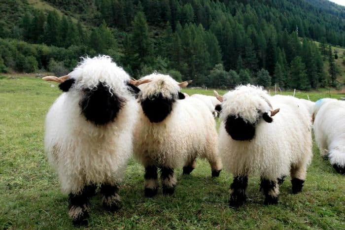 moutons-1