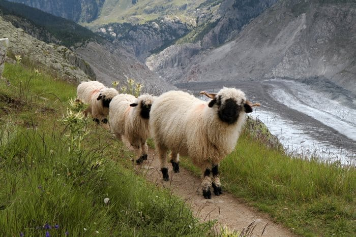 moutons-6