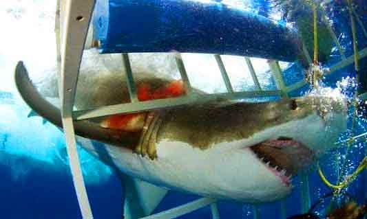 Quand un requin blanc s'introduit dans une cage de plongée