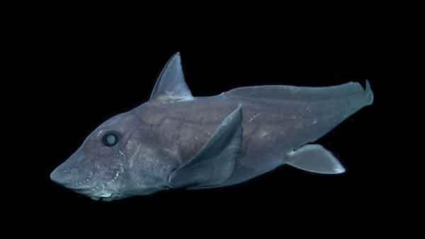 Des chercheurs ont filmé le «requin-fantôme»