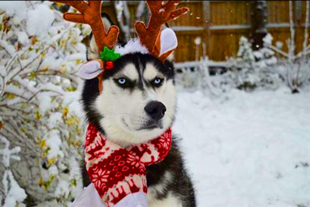 Ce Husky n'a pas vraiment l'esprit de Noël