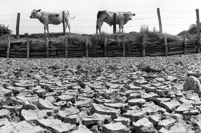 Des vaches se tiennent le long d'une mare asséchée par la sécheresse dans la propriété d'un agriculteur dans la Sarthe, le 14 juin 1976