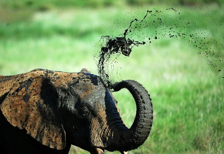 Un éléphant prend un bain de boue dans une réserve au pied du Mont Kenya, à environ 300 kilomètres au nord de la capitale Nairobi, le 21 mai 2015