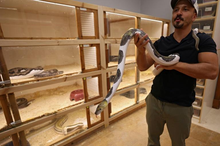 Faïçal Malaikah tient un python, chez lui, le 16 septembre 2021 à Jeddah, en Arabie saoudite