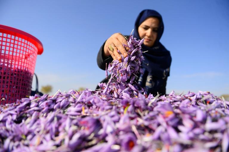 Des fleurs de safran,
